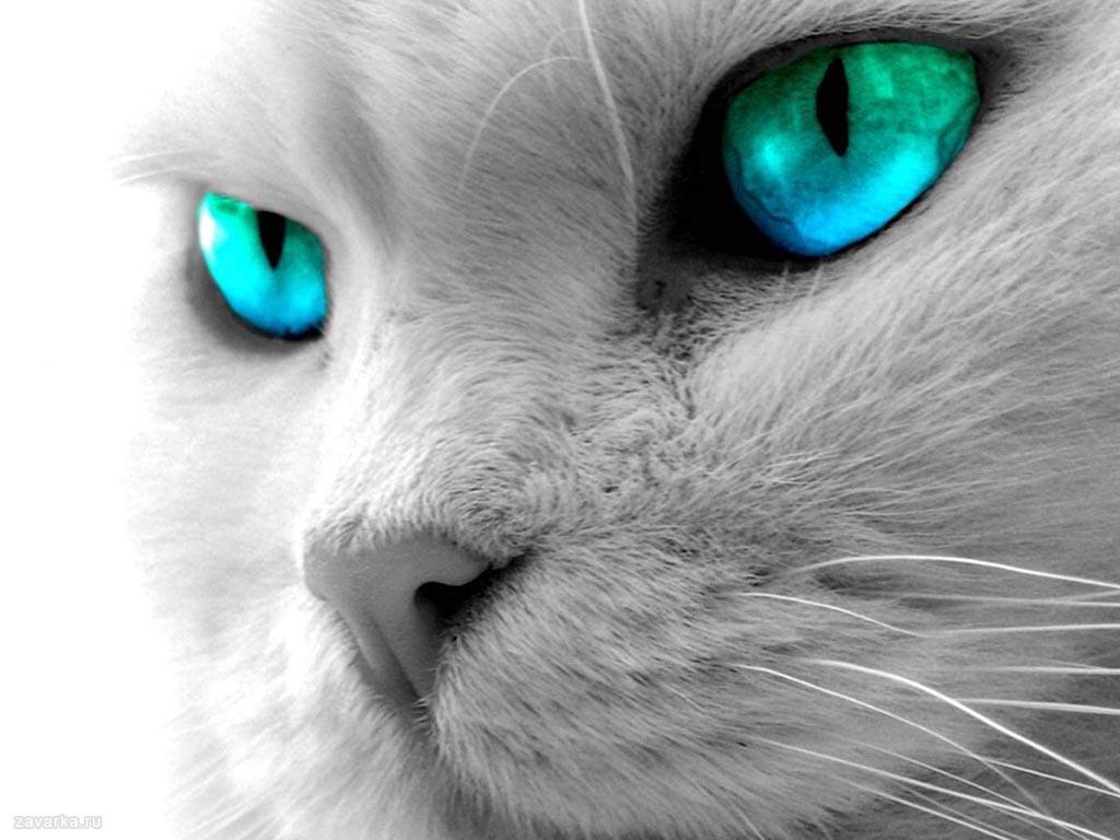 Кошка, морда, голубые глаза