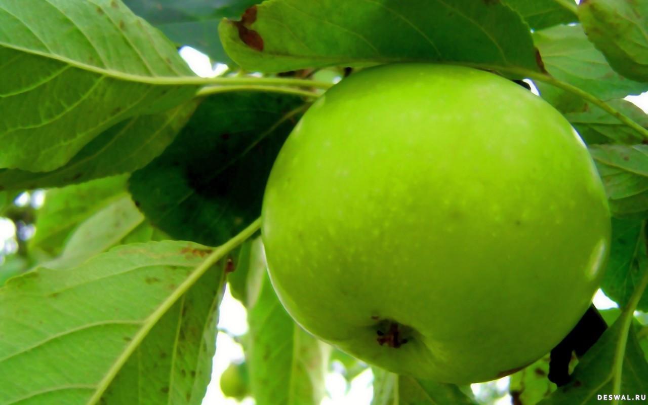 Зеленое яблоко на дереве, фото, обои