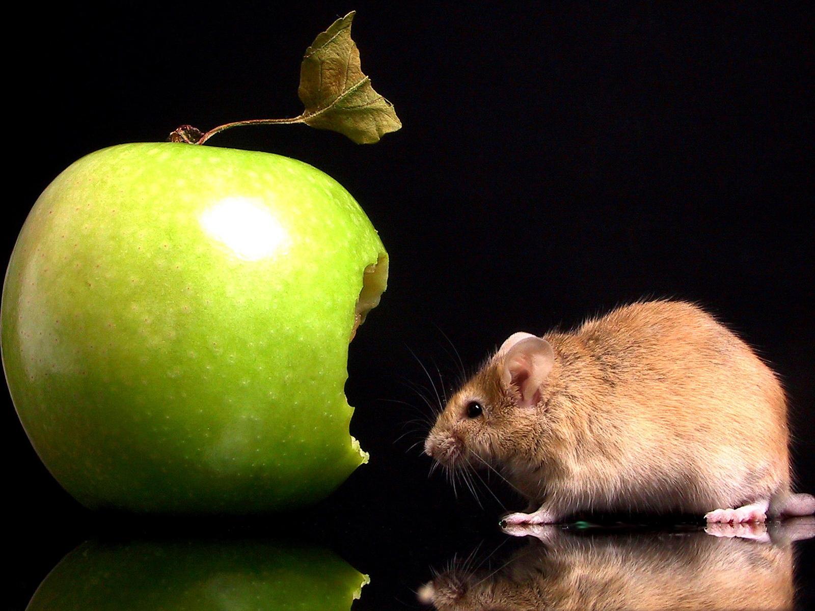 Яблоко и мышь, обои, на черном фоне