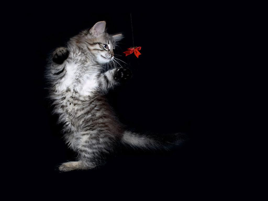 котенок, фото, играется, кошки, обои