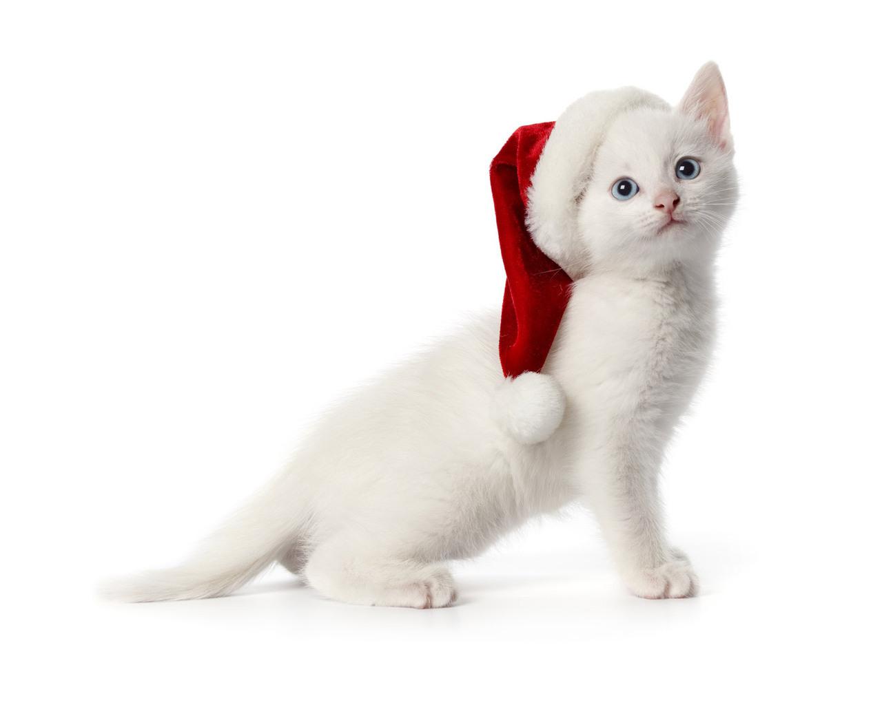 Белый котенок в шапке сантаклауса, фото, обои