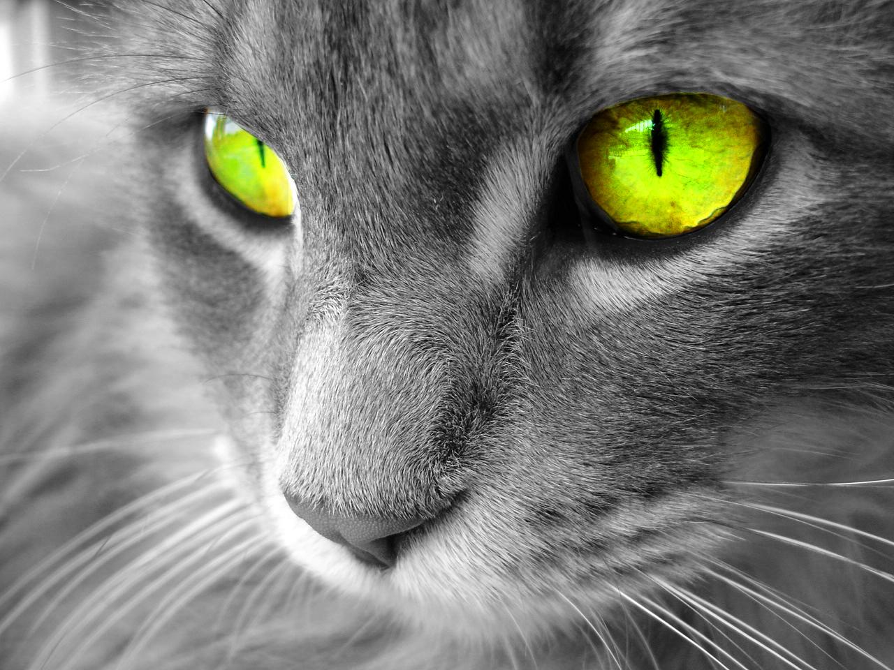 Обои, кошка с зелеными глазами