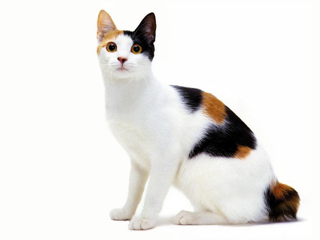 Пятнистая кошка, обои для рабочего стола, фото