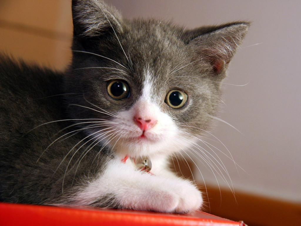 маленький серый котенок, фото, обои