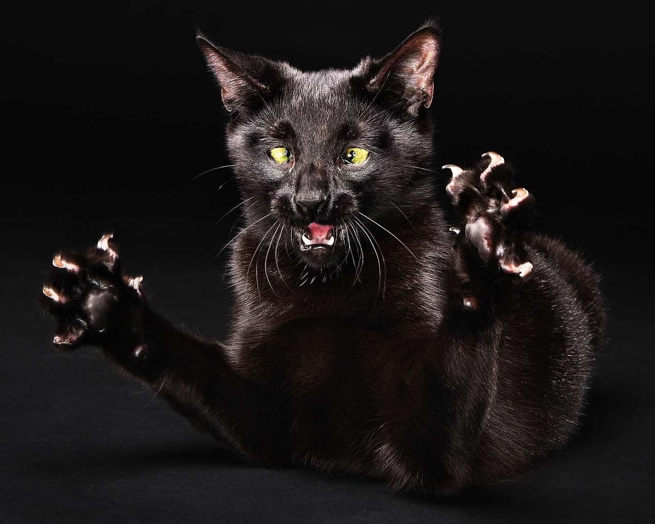 Черная кошка с когтями, кошки, фото, обои