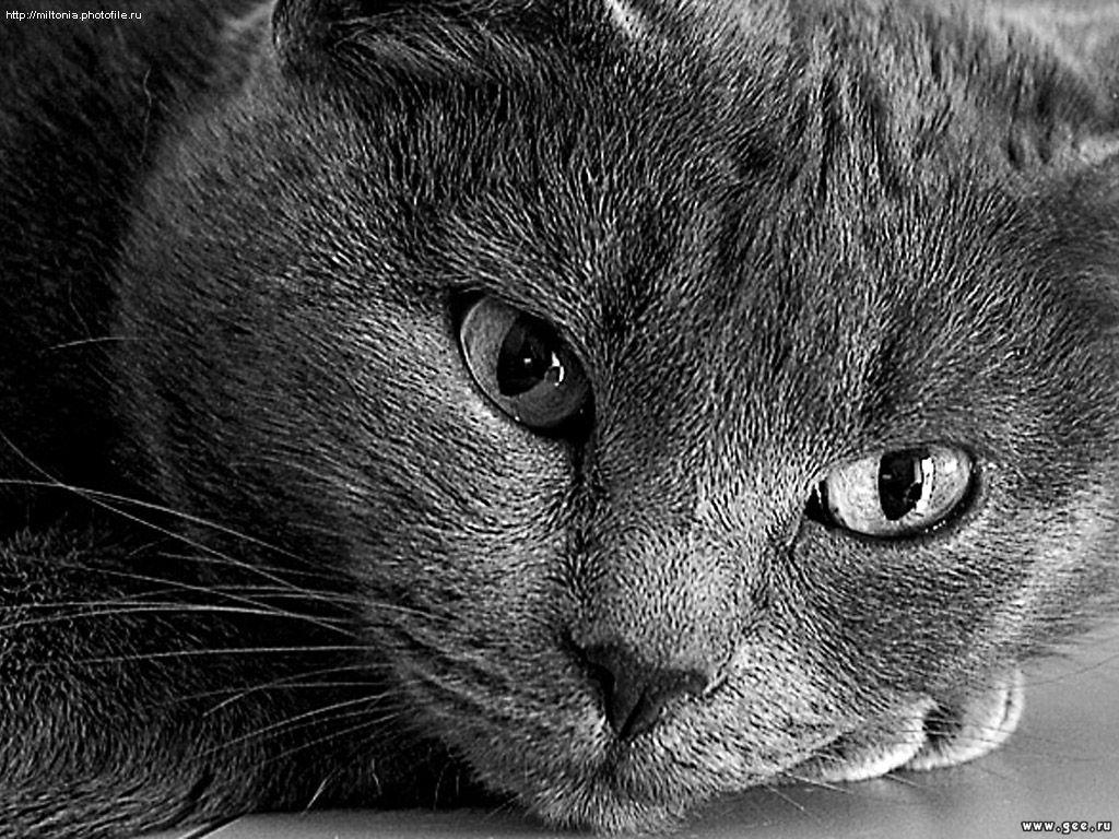 серая кошка, большие глаза, кошки, фото обои