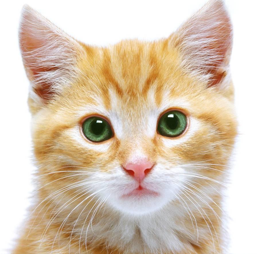 Рыжая кошка, котенок с зелеными глазами, обои, фото