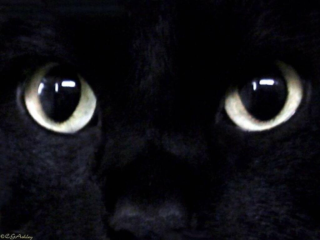 Фото, обои, черный кот