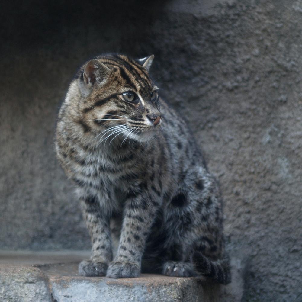 камышовый кот, полосатый кот, большой кот, кошки, фото