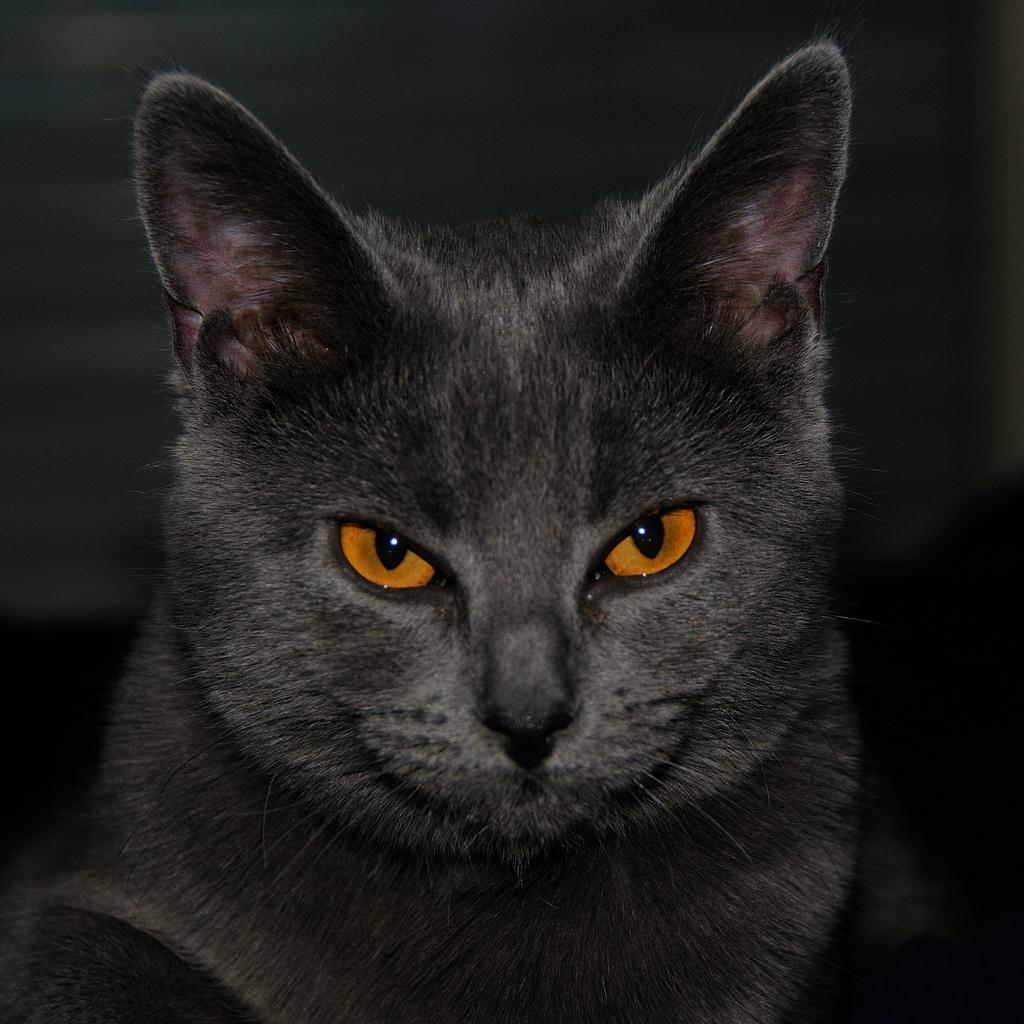серый кот с рыжими глазами, кошки, фото, обои на рабочий стол