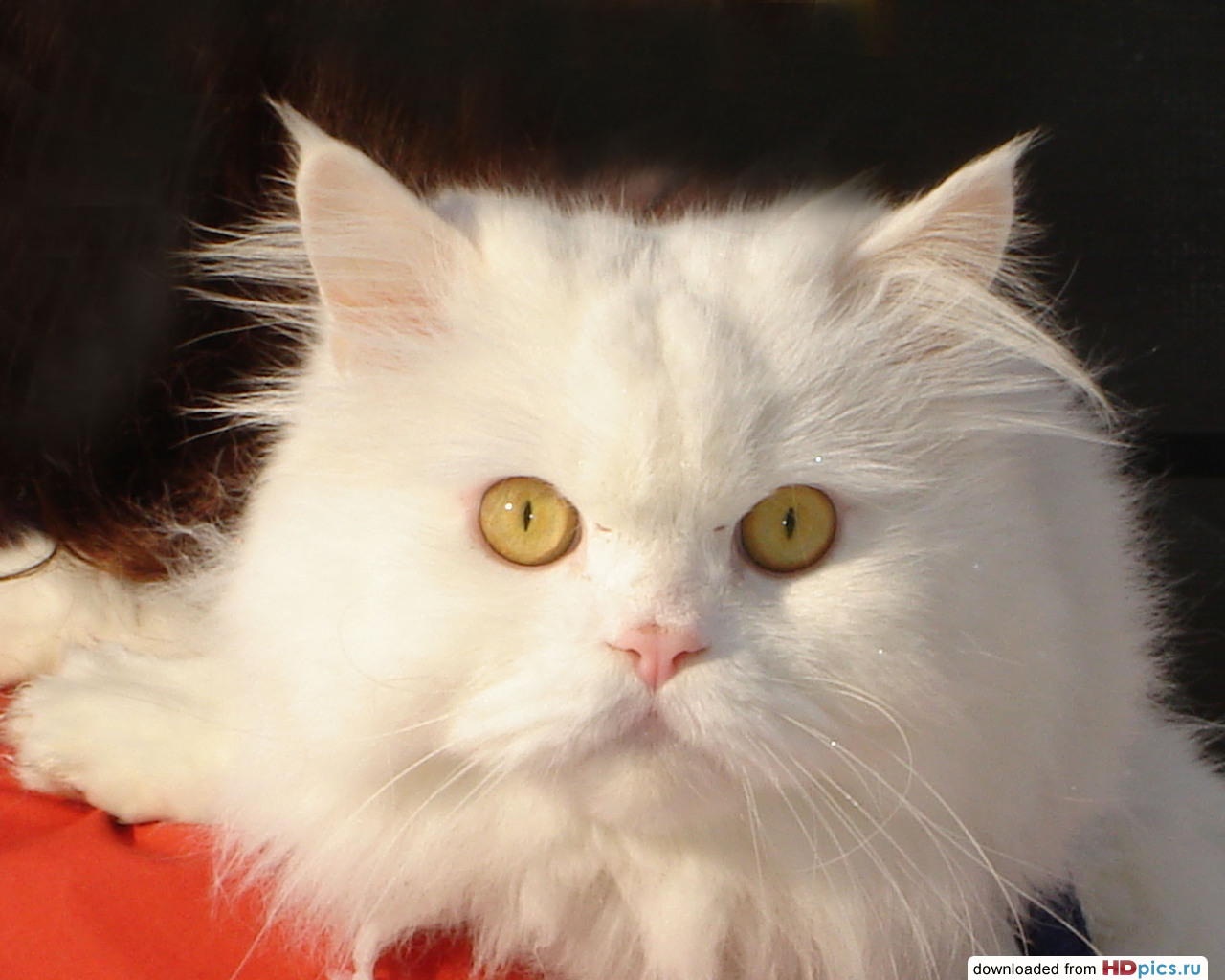 Белый пушистый кот, фото, обои
