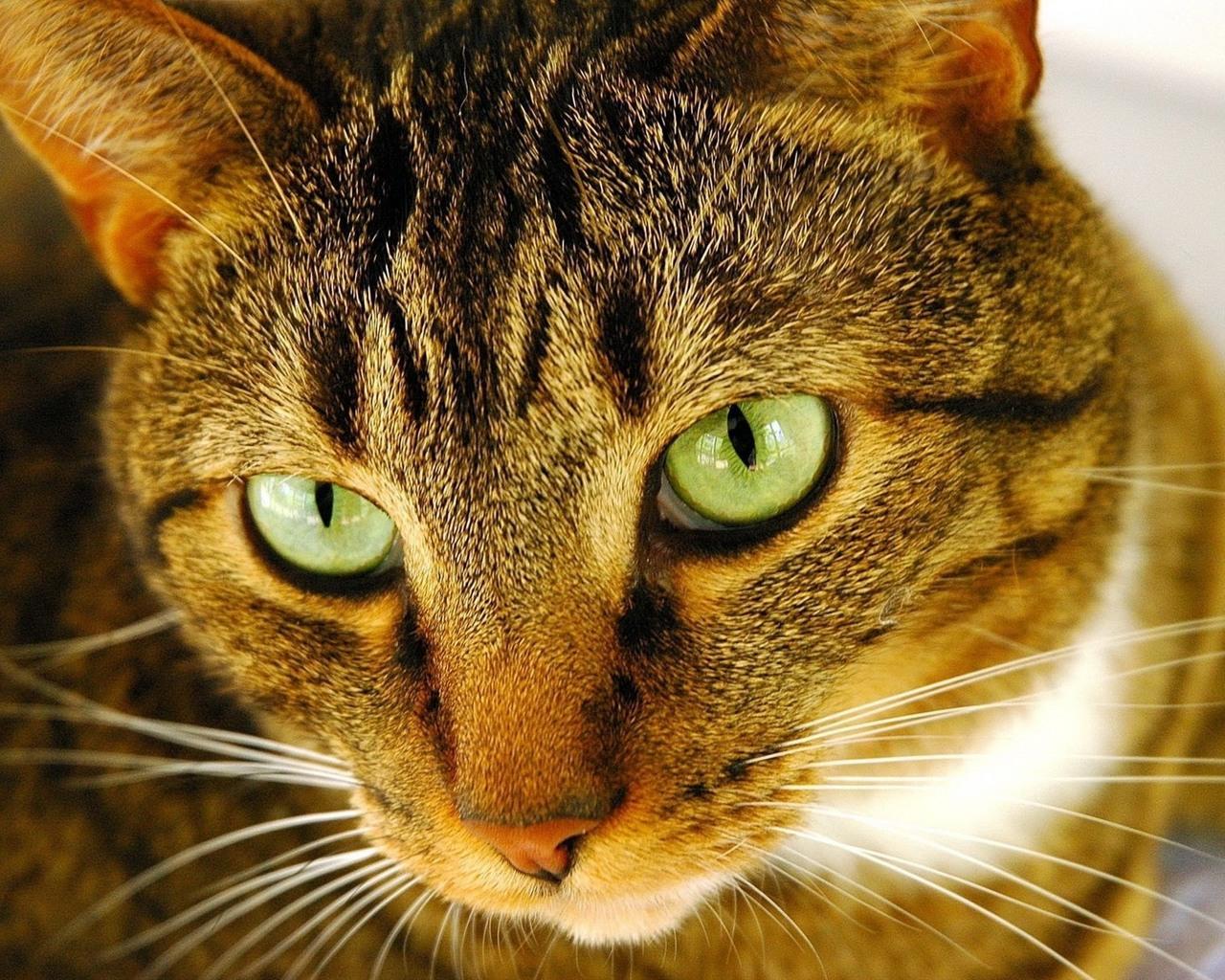 Полосатый кот с зелеными глазами, фото, обои