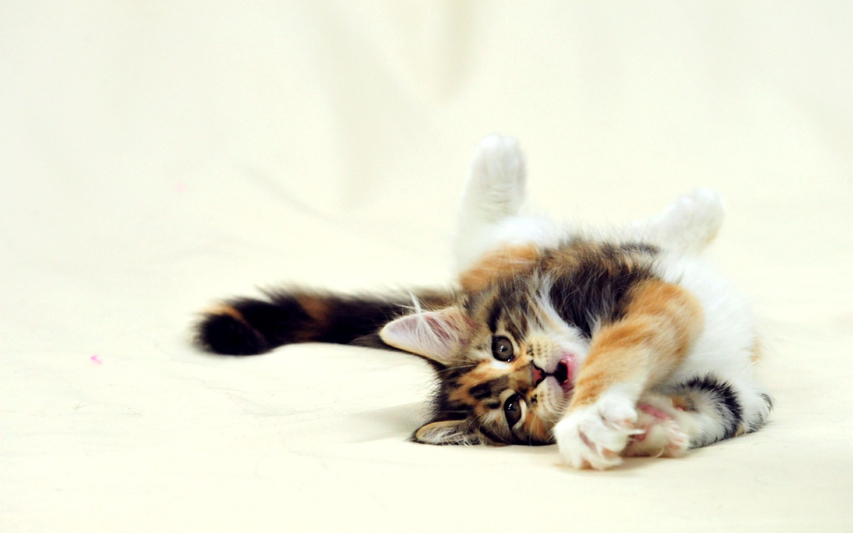 пятнистый котенок, кошки, кот, обои фото обои на рабочий стол