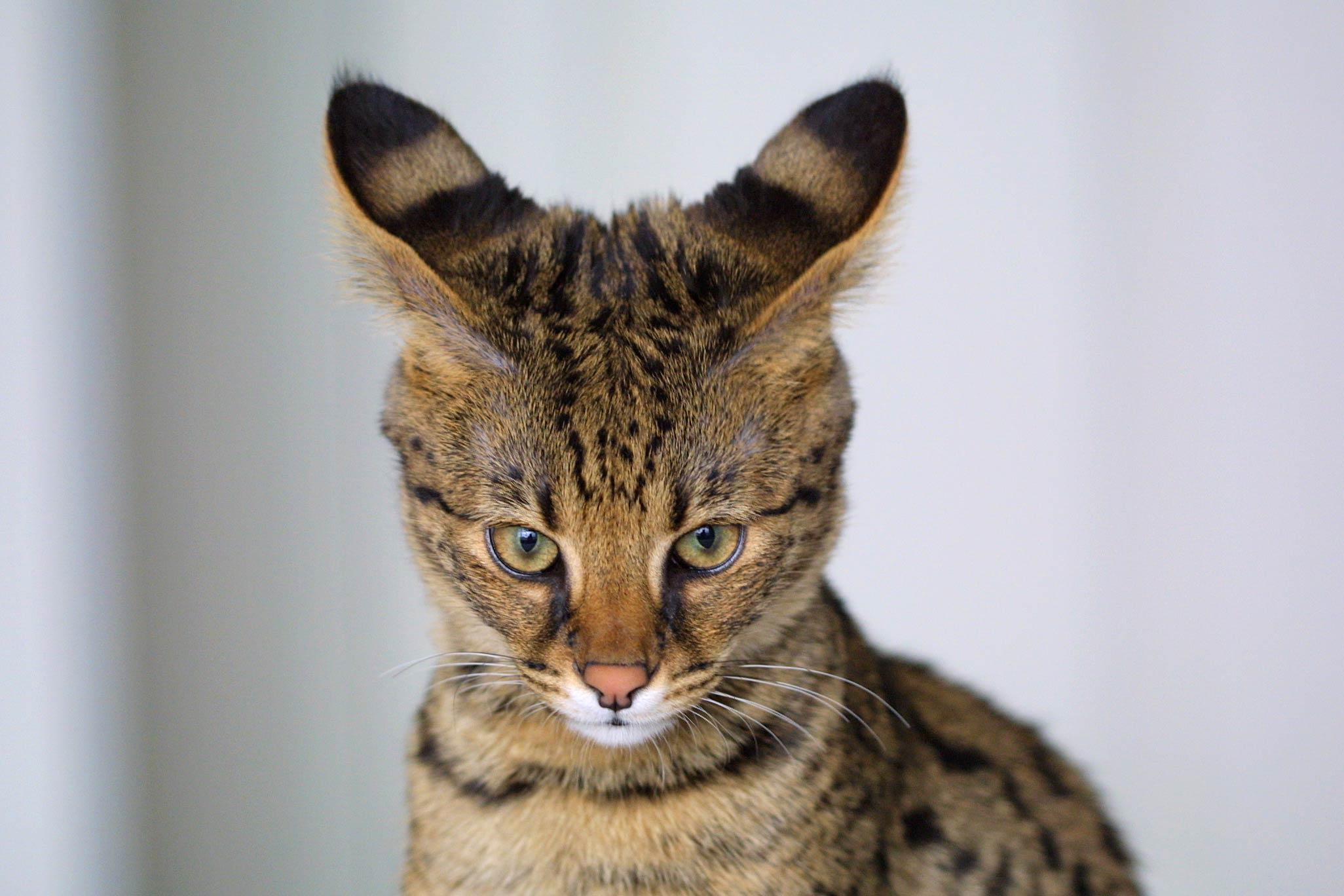 Кошка с длинными ушами, породистая, полосатый кот, обои, фото