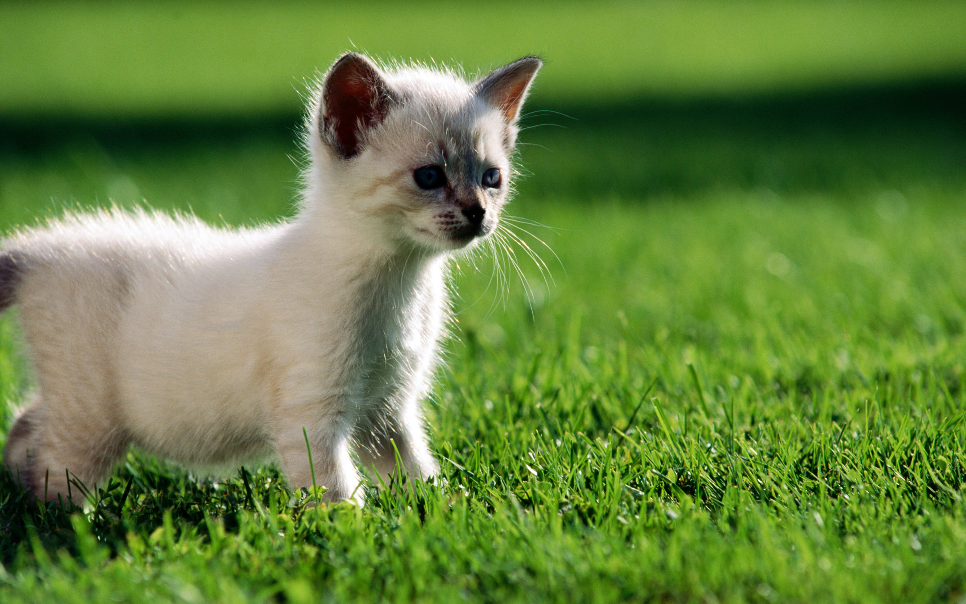 котенок на зеленой траве, фото, обои