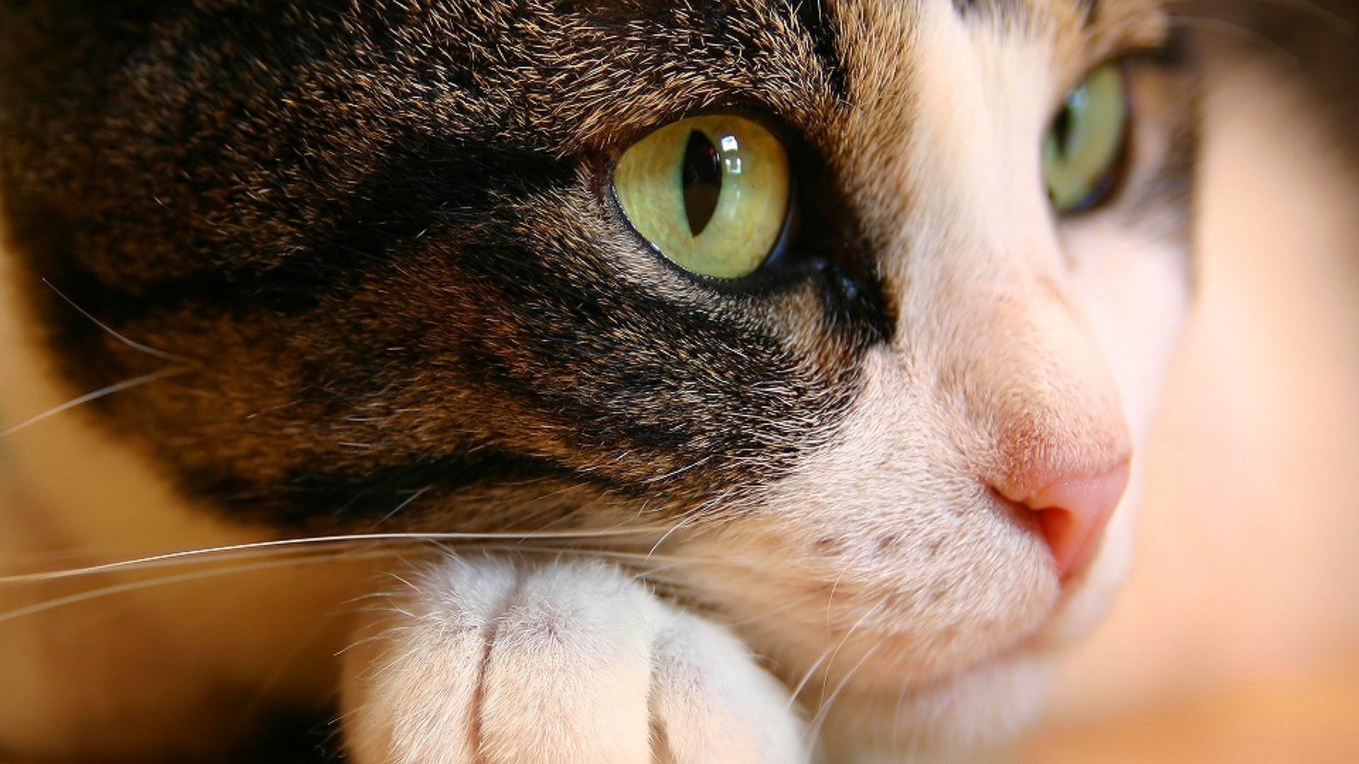 кошка с зелеными глазами, фото, обои на рабочий стол