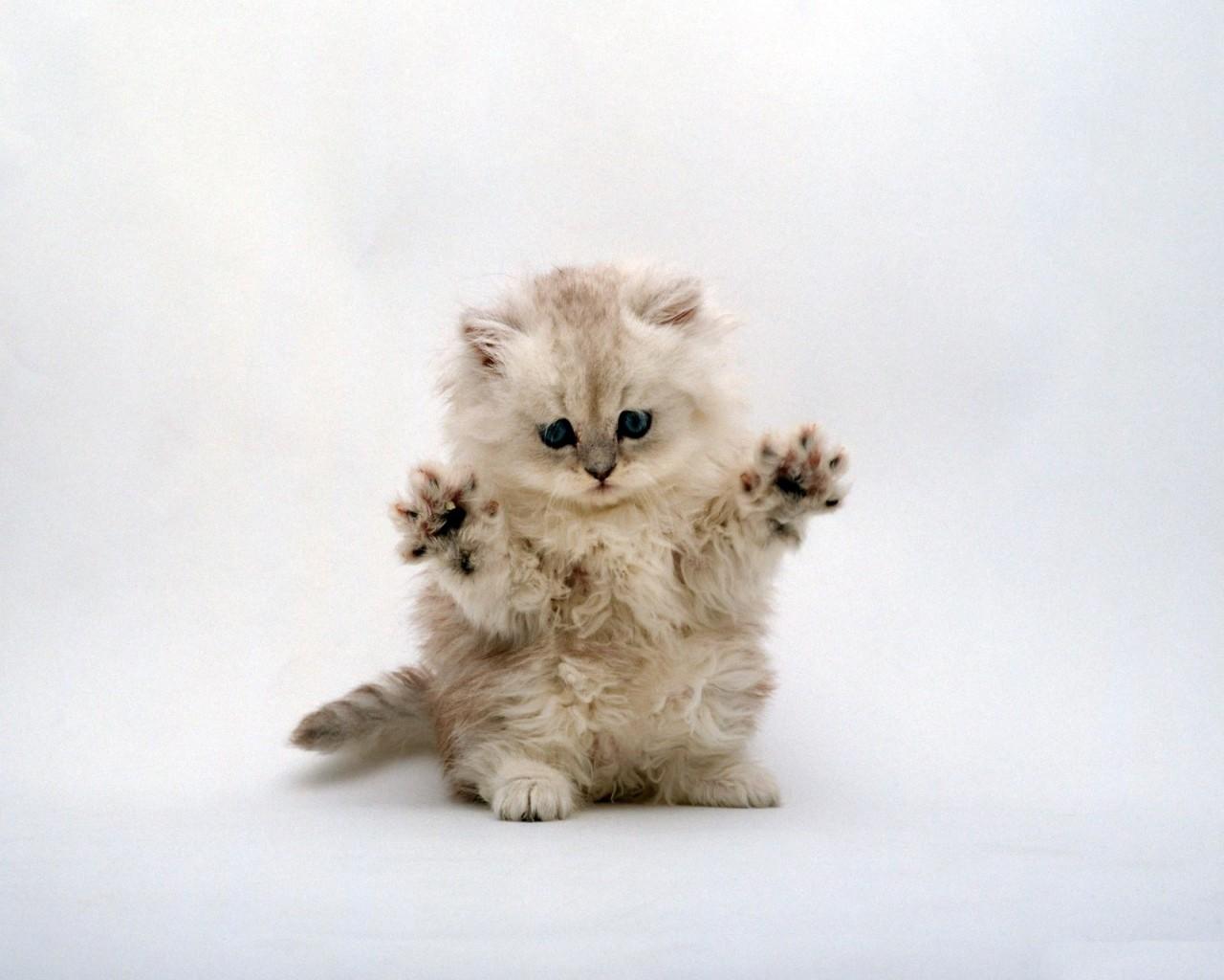 маленький пушистый серый котенок, фото, обои