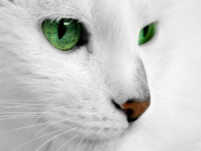 Белая кошка с зелеными глазами, кот с изумрудными глазами, фото, обои для рабочего стола