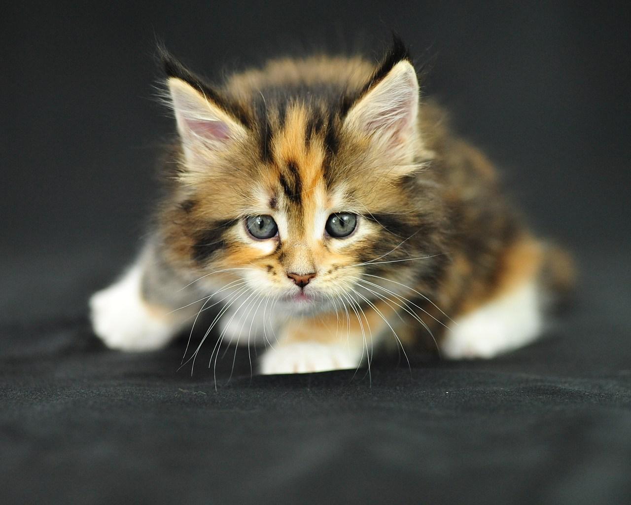 пятнистый и пушистый котенок, обои для рабочего стола, фото