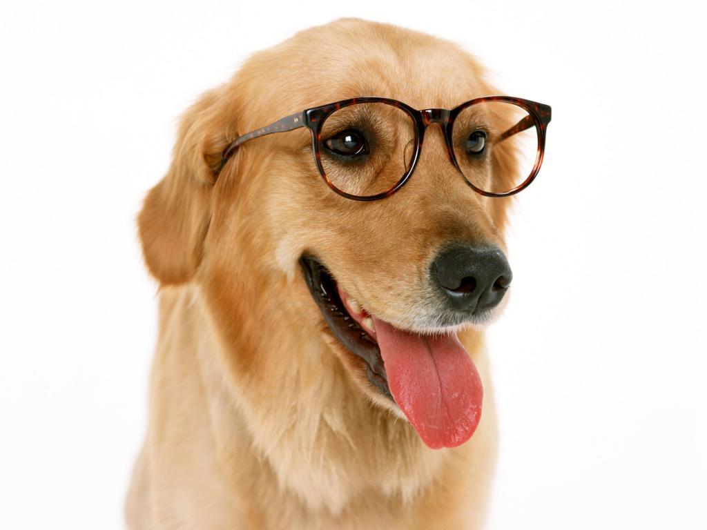 Собака, фото, собачка в очках, обои для рабочего стола