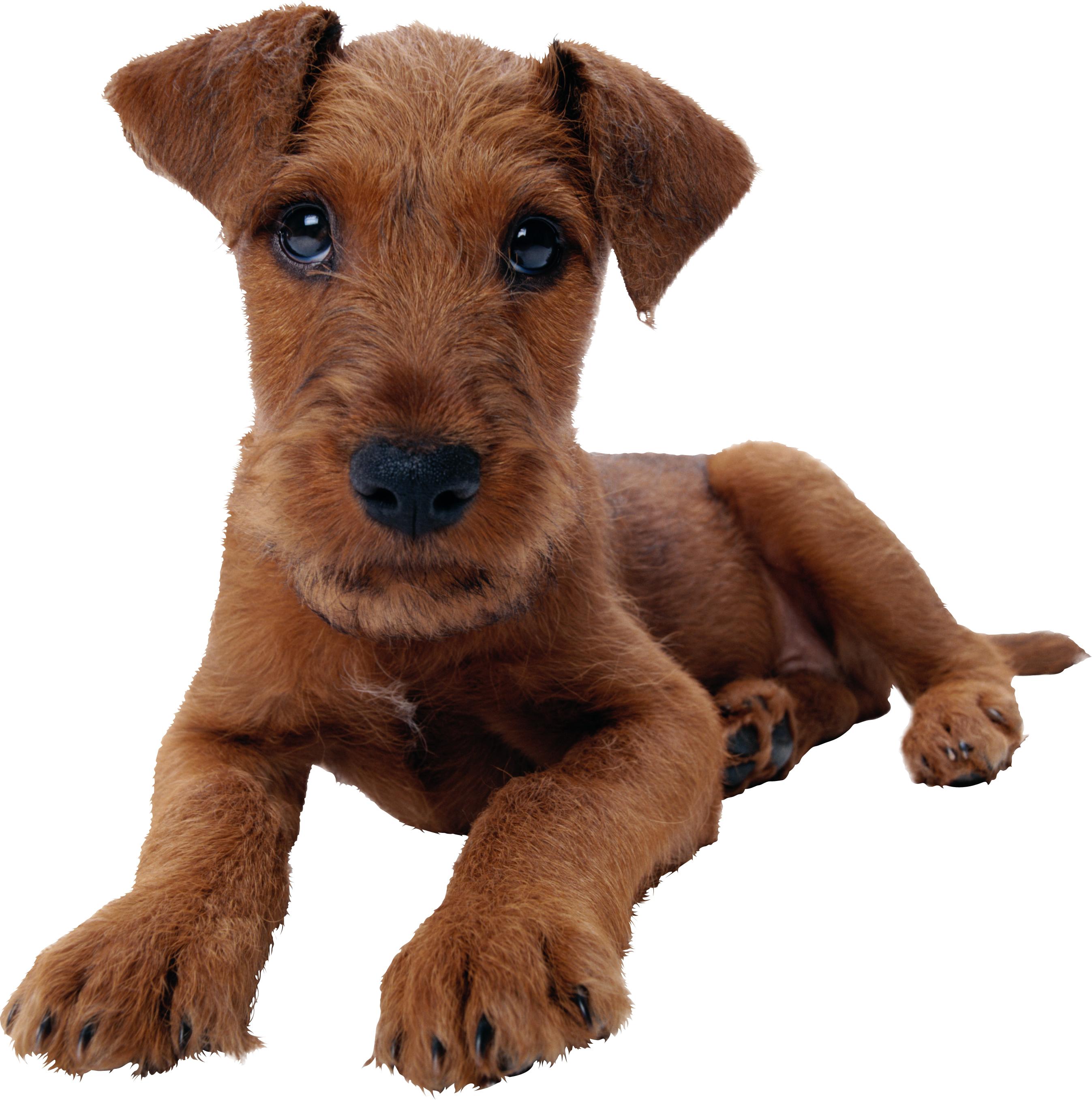 Щенок, кудрявый, маленький, собачка, обои для рабочего стола