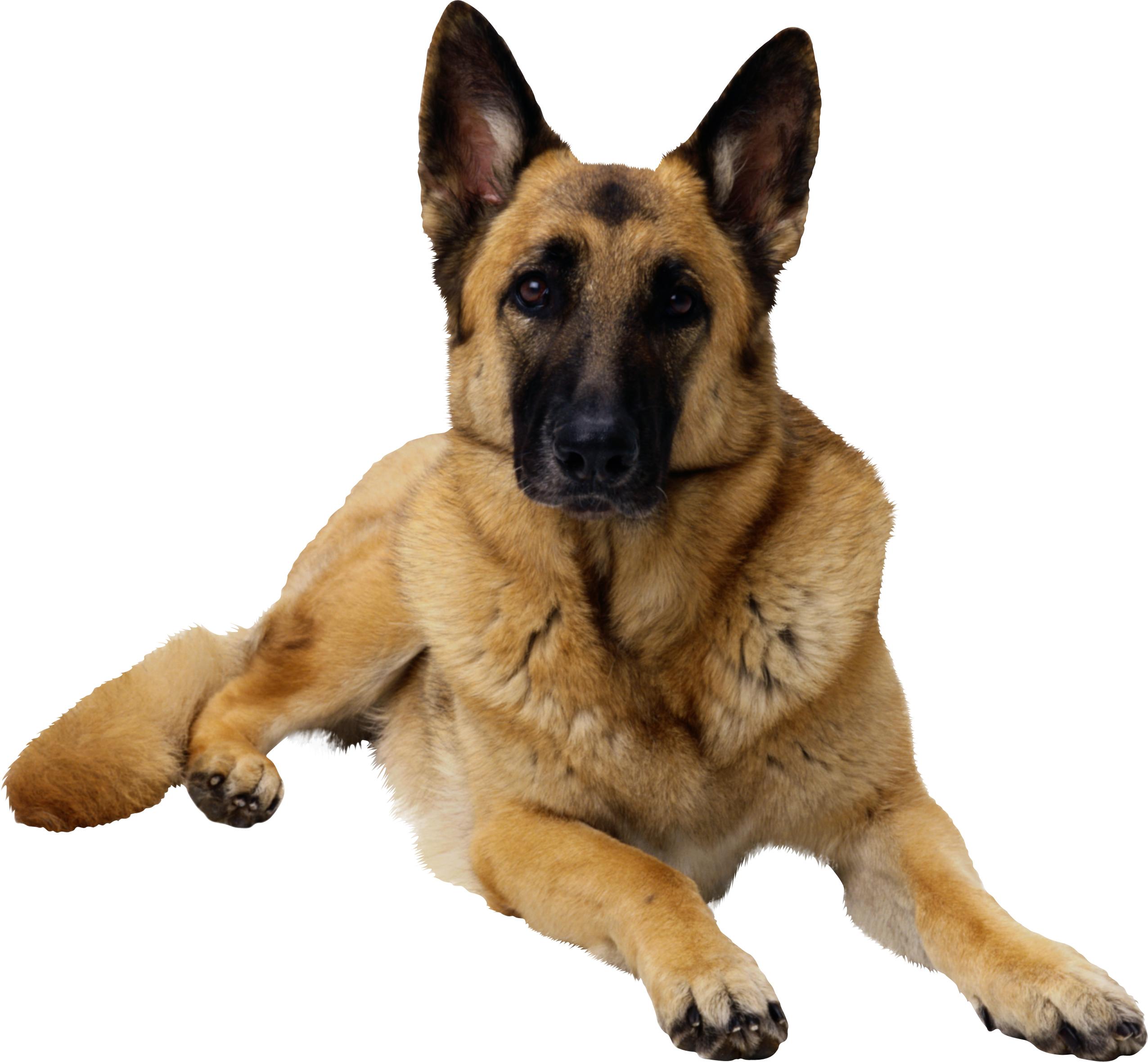 собака, фото, обои, овчарка, для рабочего стола
