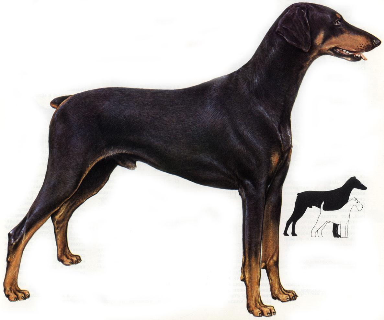 собака, доберман, фото, для дизайна