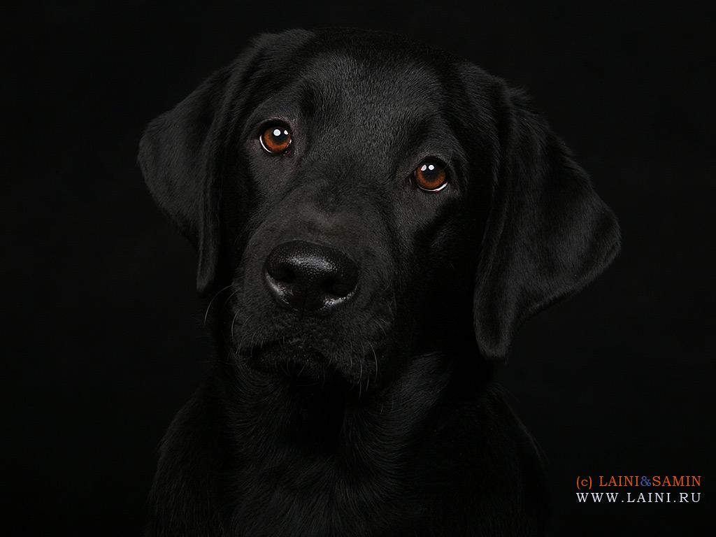 черная собака, обои, фото для рабочего стола