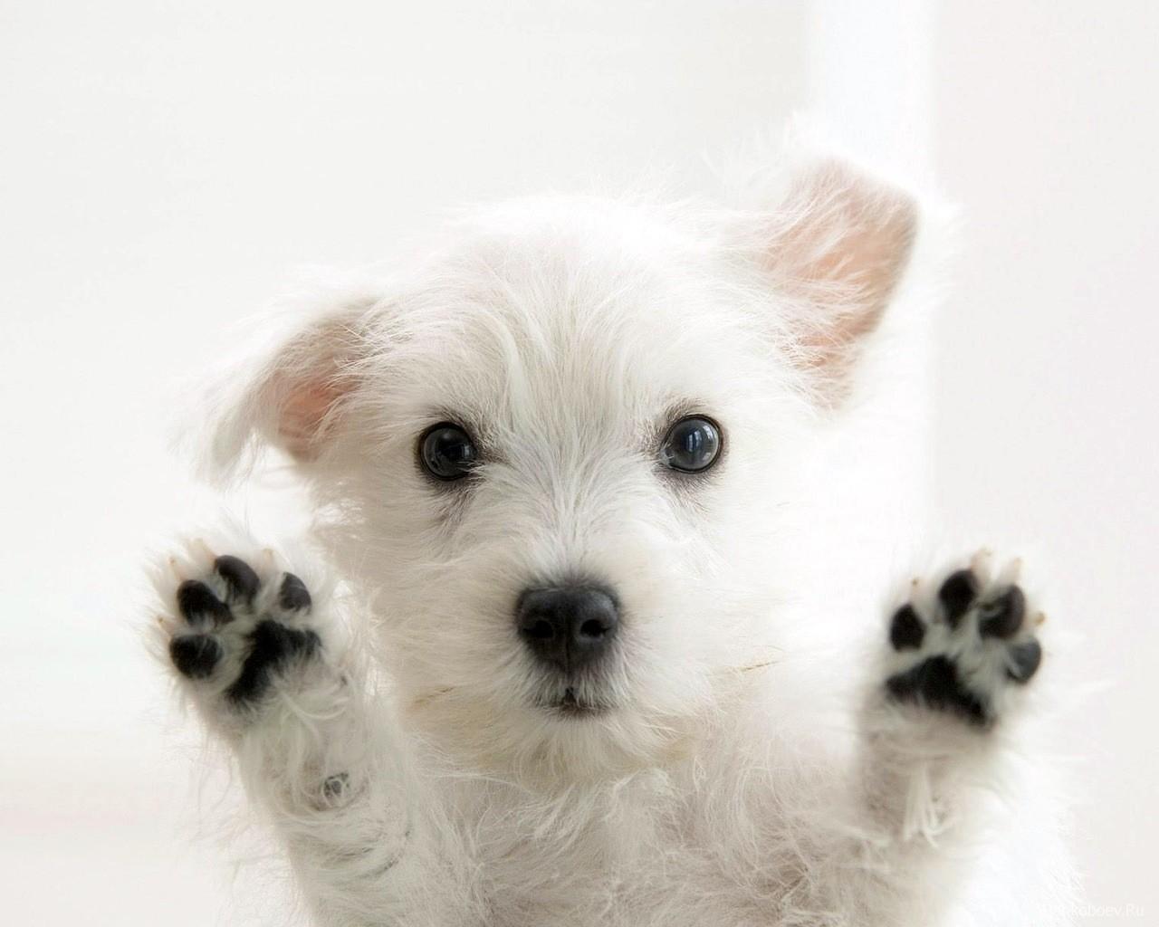 Фото, маленький белый щенок, обои для рабочего стола