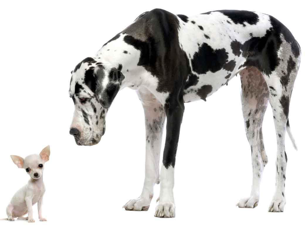 Дог и маленькая собачка, фото, обои на рабочий стол