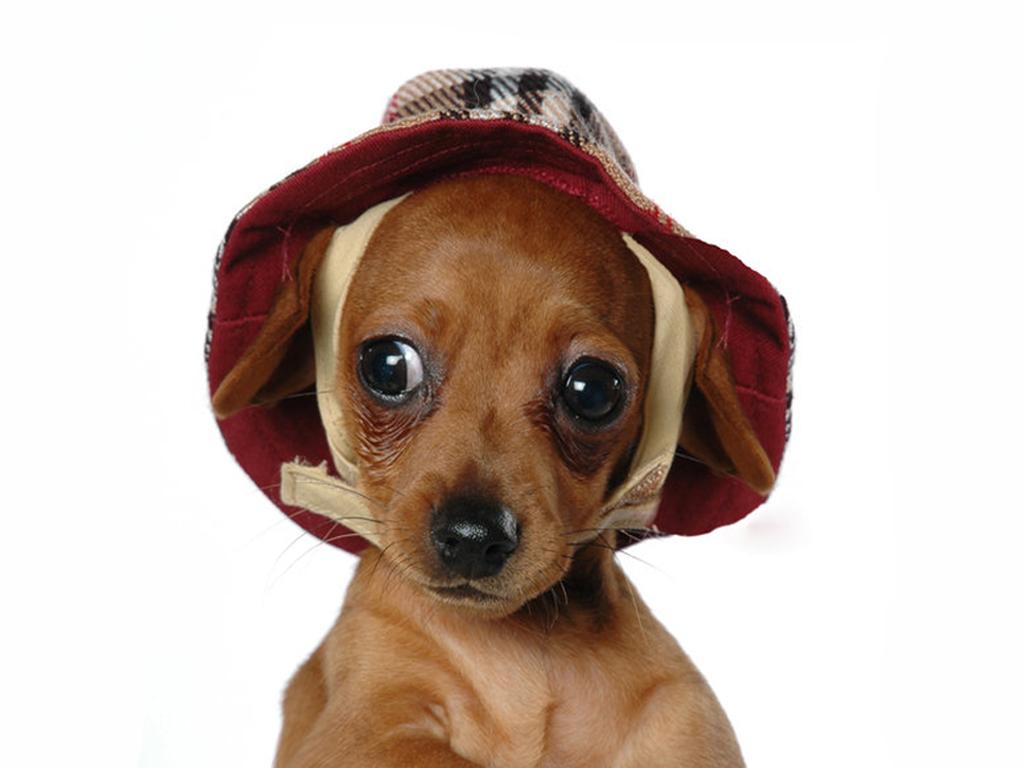 Фото, маленькая собачка в шлчпе