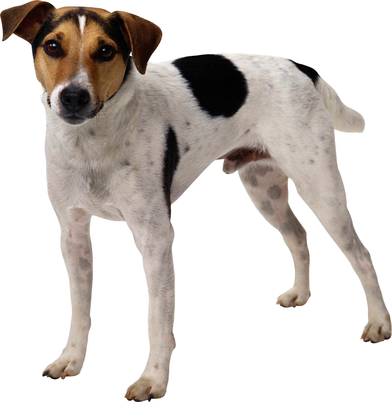 Стол пятнистая собака фото обои