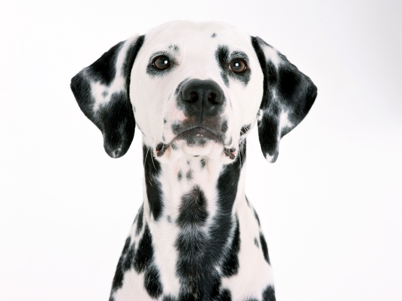 Долматинец, дог, собака, фото обои
