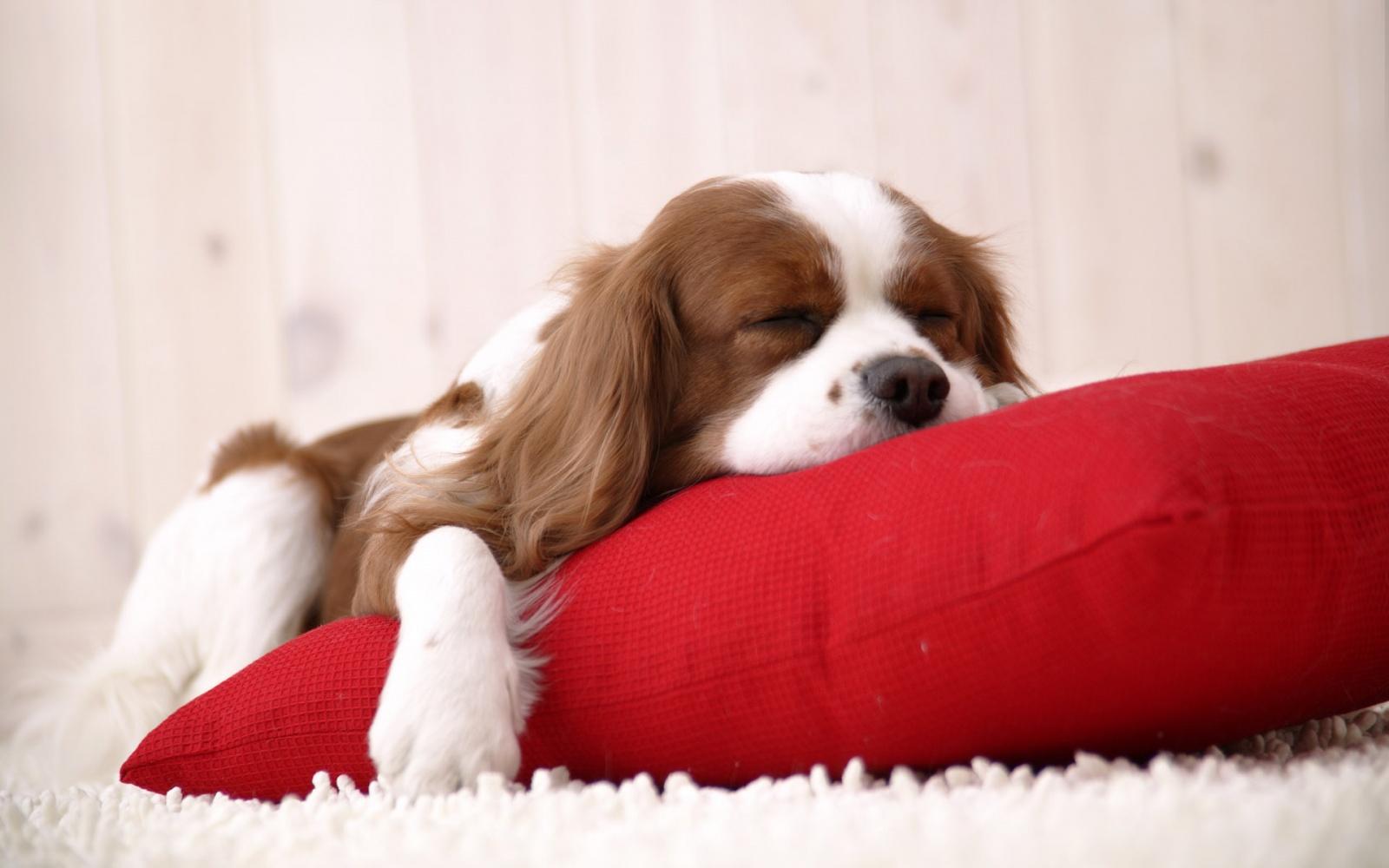 Собака спит обои для рабочего стола