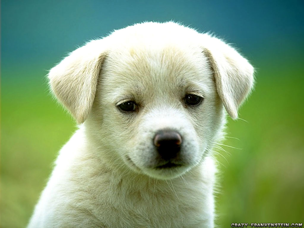 Фото, маленькая белая собачка, для рабочего стола обои