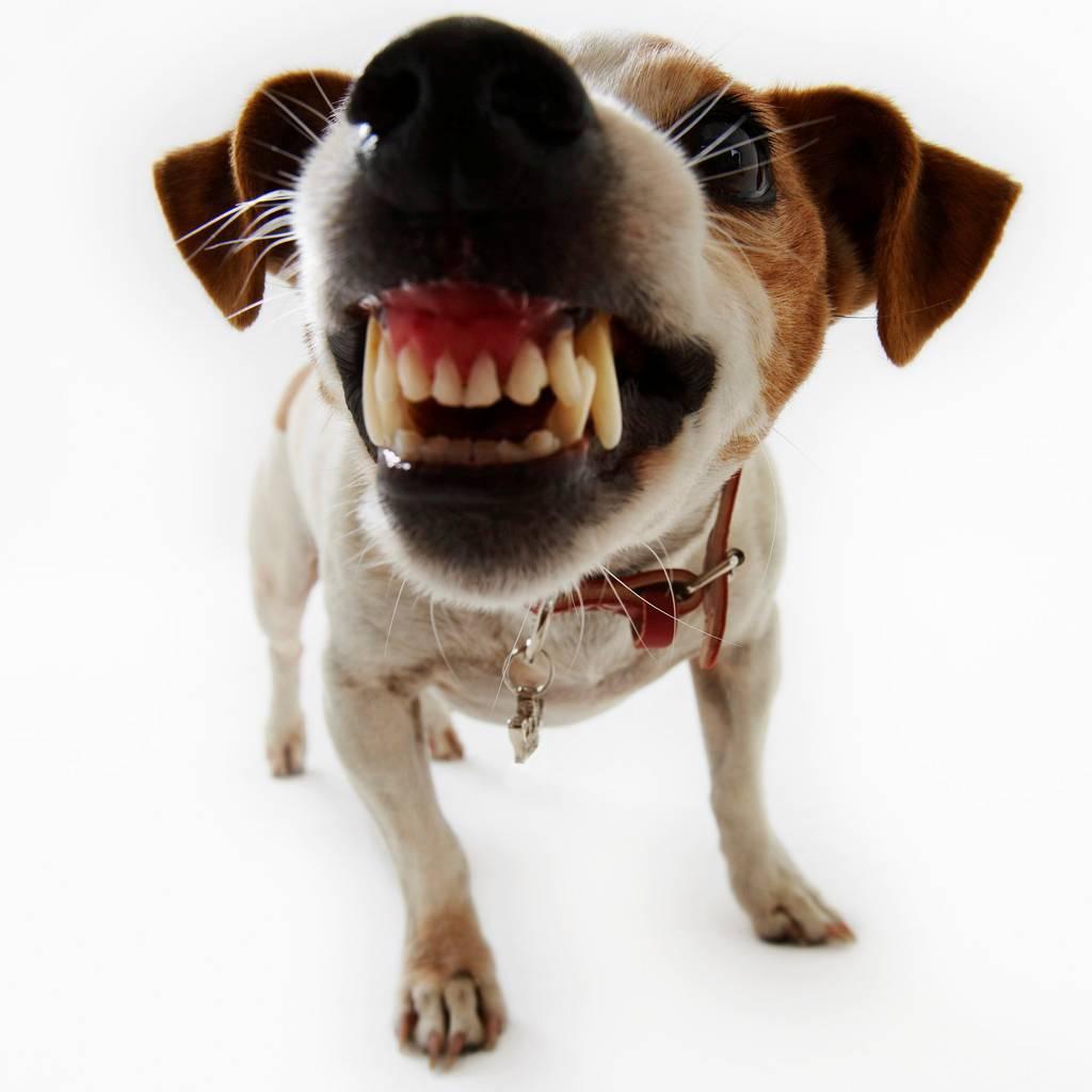 фото, злая собака, оскал