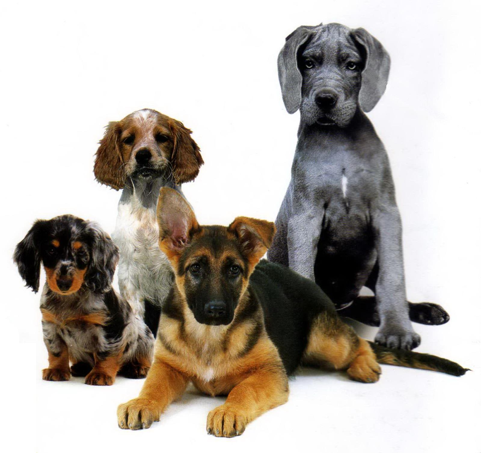 Собаки, обои для рабочего стола
