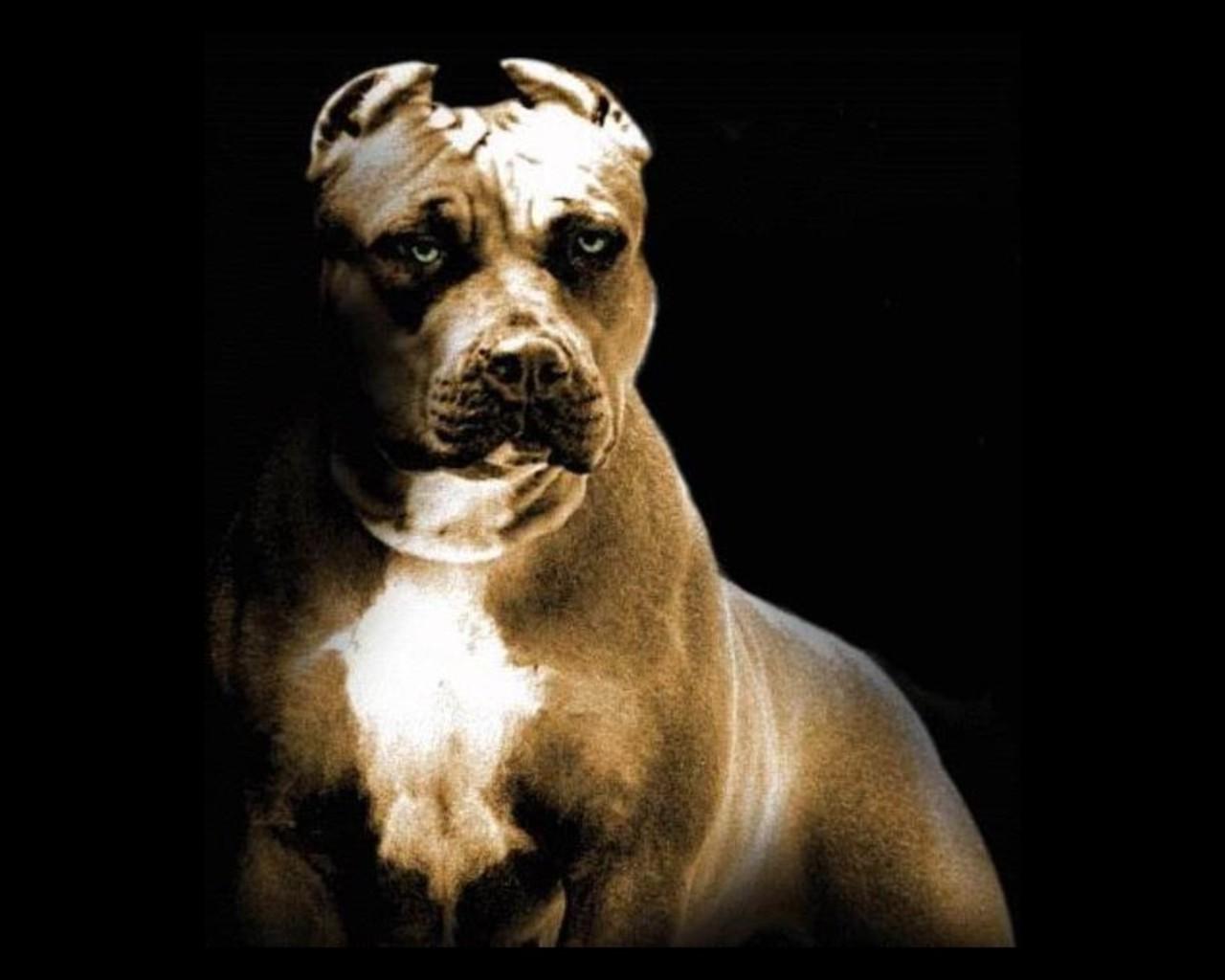 питбуль, фото, обои для рабочего стола, бойцовская собака