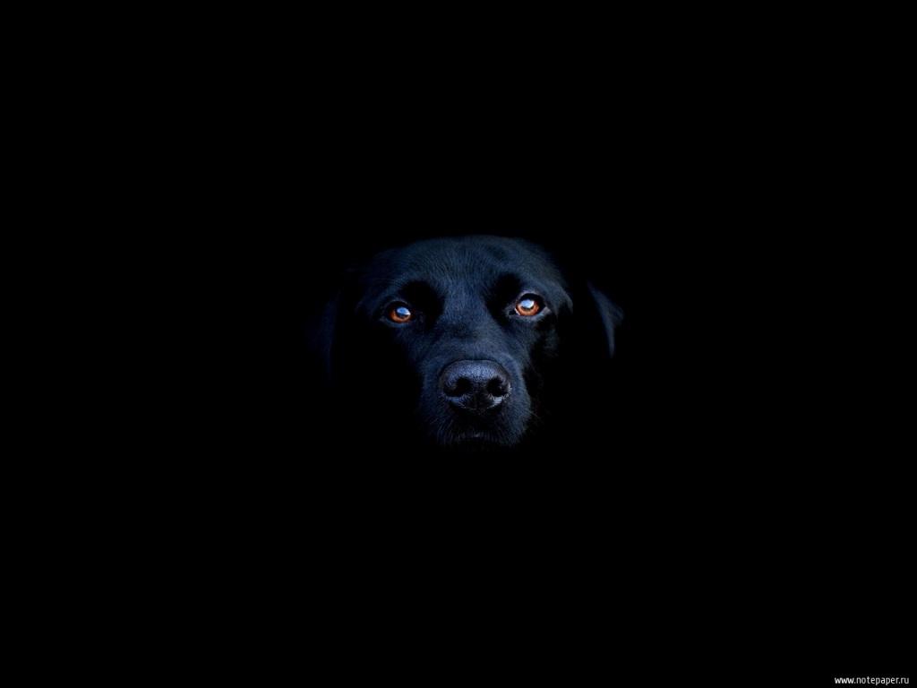 Черная собака в темноте, фото, обои, красивое фото