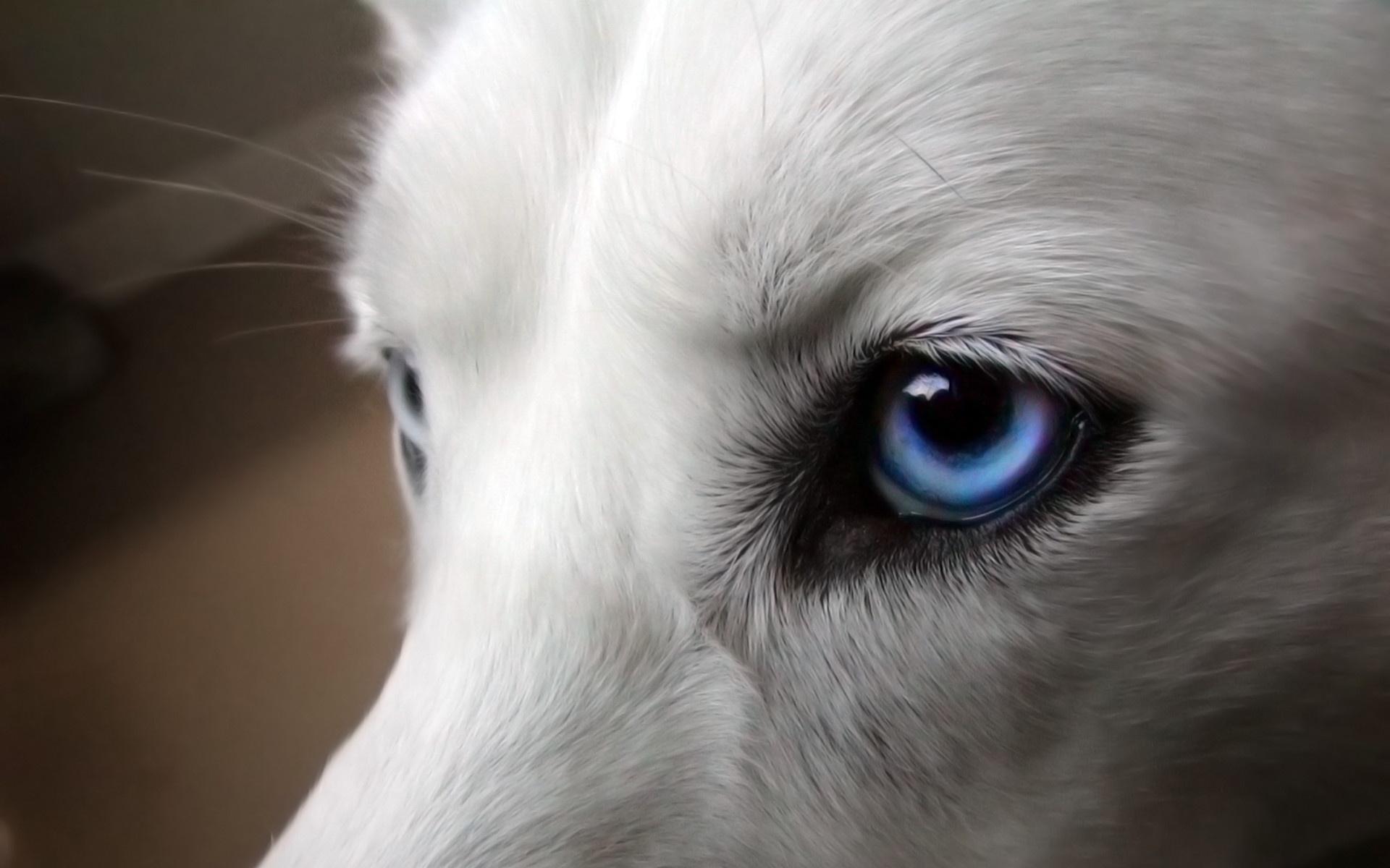 собака с голубыми глазами, фото, обои, для рабочего стола