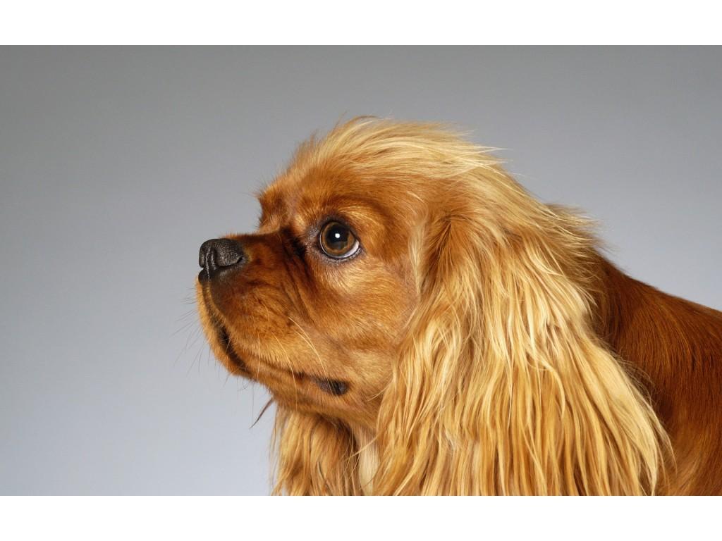 собака, обои для рабочего стола, красивое фото