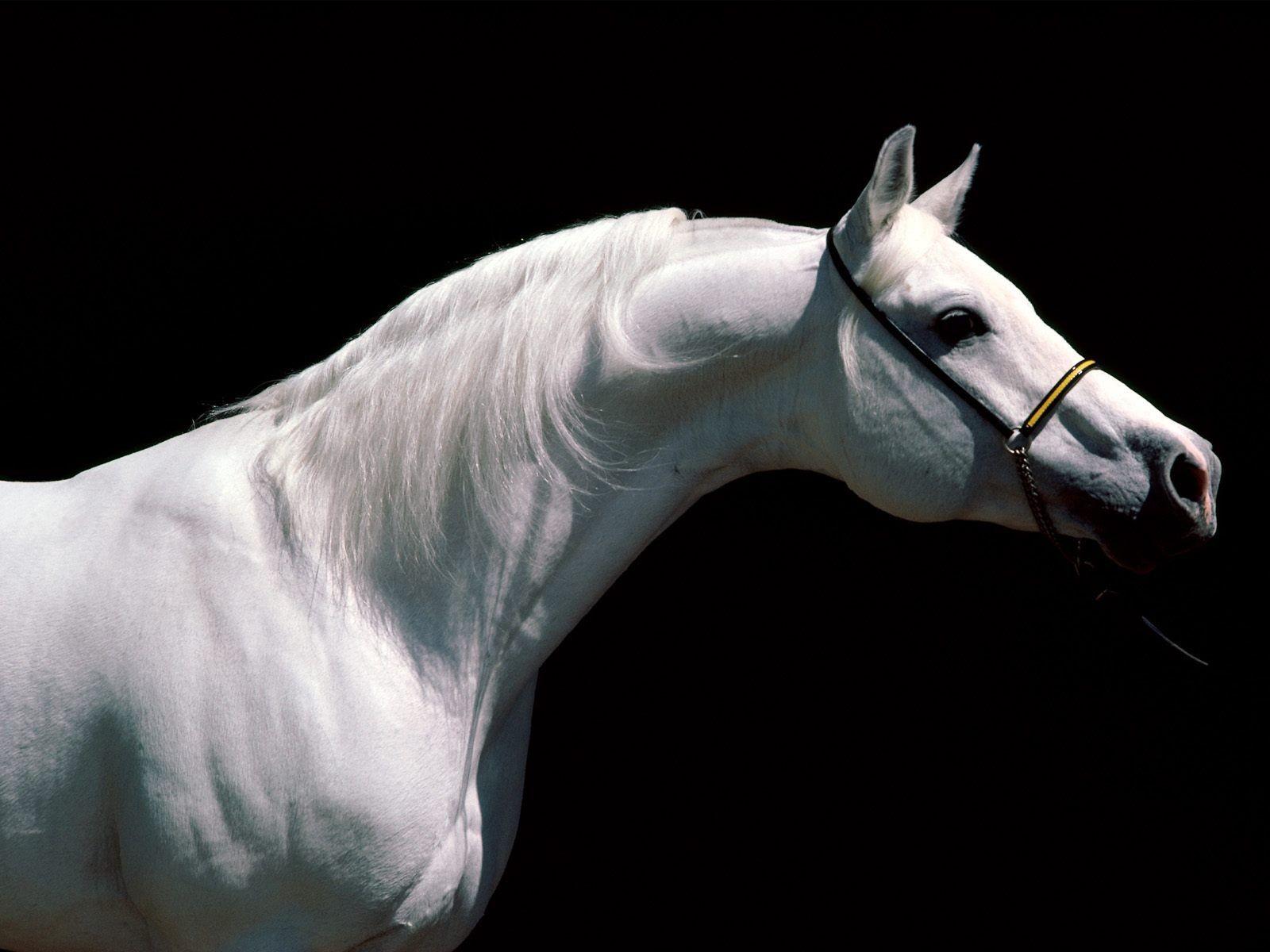 Фото лошади, лошадь, конь, обом для рабочего стола