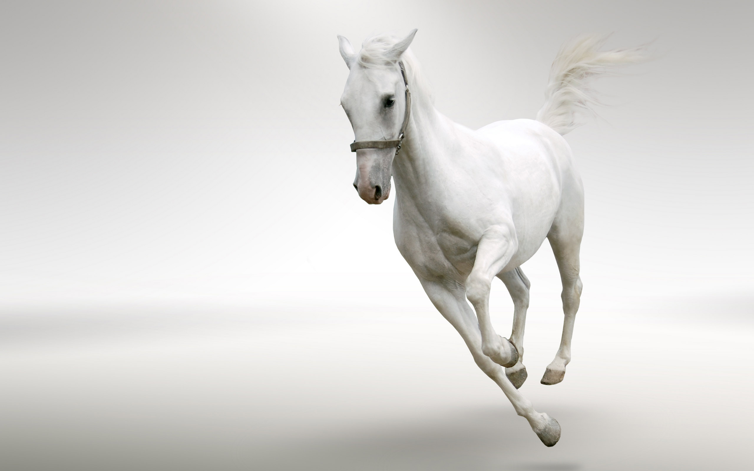 Белый конь, белая лошадь, фото, обои на рабочий стол