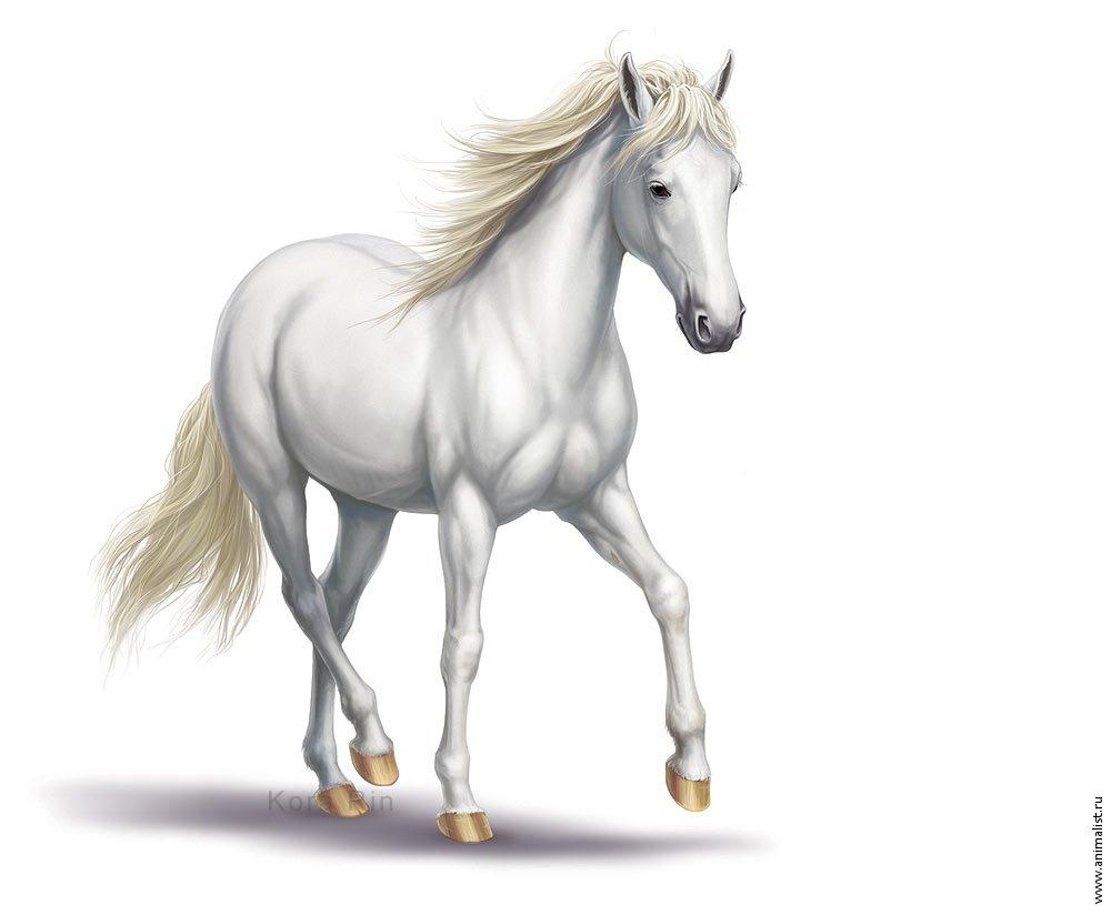 Белый конь, белая лошадь, фото обои на рабочий стол