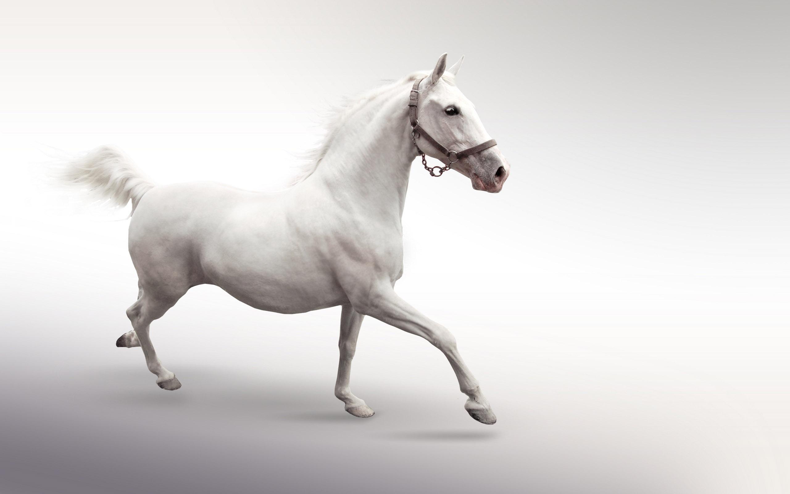 Белый конь, фото, обои для рабочего стола, лошадь