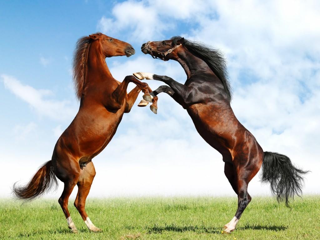 Два коня, лошади, фото, обои для рабочео стола