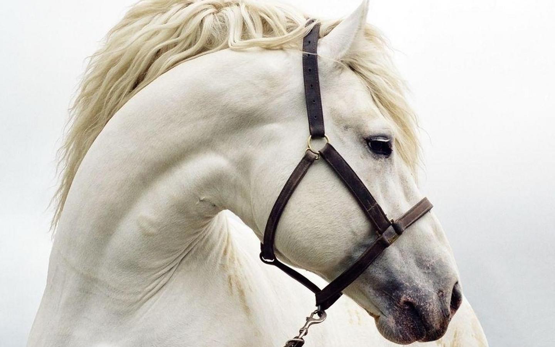 Белый конь, лошадь, фото, скачать