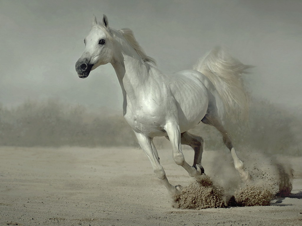 Белый конь, лошадь, фото, обои для рабочего стола, скачать