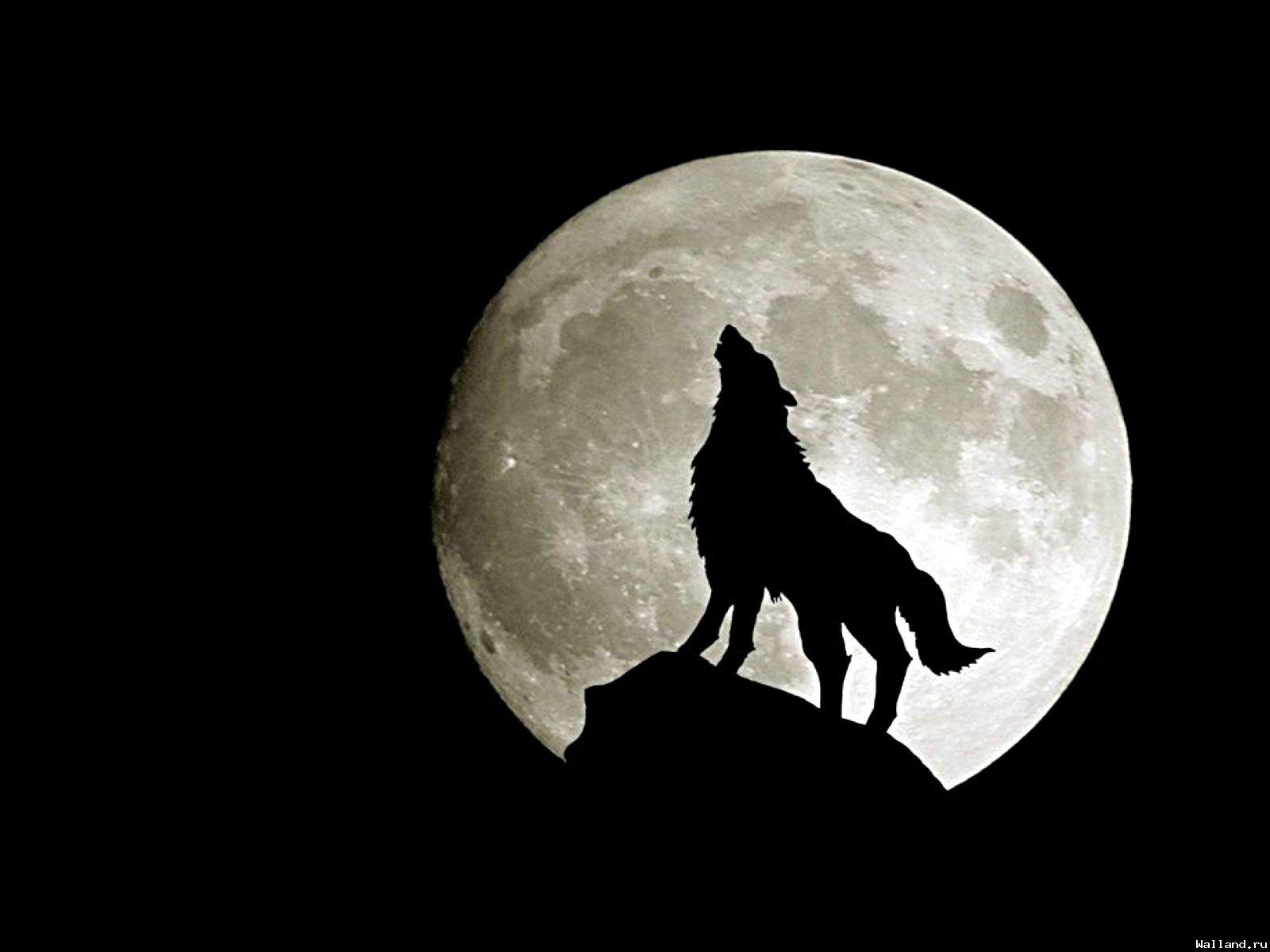 Волк воет на луну, обои для рабочего стола, волки, фото