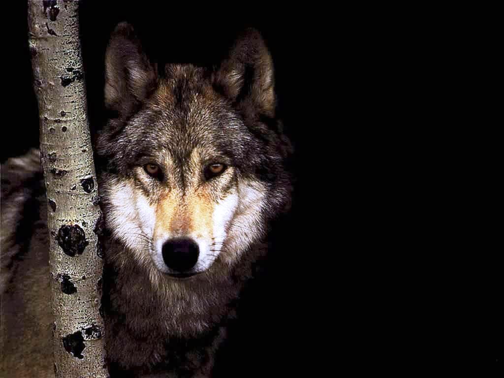 ... Волк, фото, обои, для рабочего стола, wolf: fotodes.ru/download/964